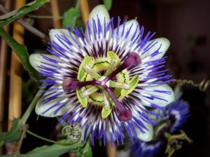 Passiflora sp. - floarea pasiunii