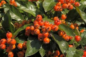wild-fruit-apple berry